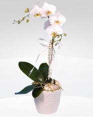 1 dallı orkide saksı çiçeği  Afyon online çiçekçi , çiçek siparişi