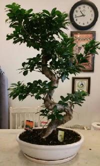 100 cm yüksekliğinde dev bonsai japon ağacı  Afyon İnternetten çiçek siparişi