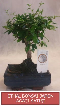 İthal küçük boy minyatür bonsai ağaç bitkisi  Afyon çiçekçi telefonları