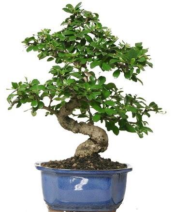21 ile 25 cm arası özel S bonsai japon ağacı  Afyon çiçekçi telefonları