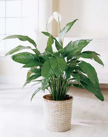 Afyon online çiçek gönderme sipariş  spatilyum ithal büyük boy