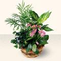 Afyon çiçek satışı  5 adet canli çiçek sepette