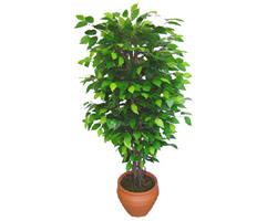 Ficus Benjamin 1,50 cm   Afyon anneler günü çiçek yolla