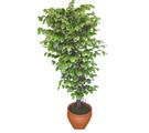 Ficus özel Starlight 1,75 cm   Afyon cicek , cicekci