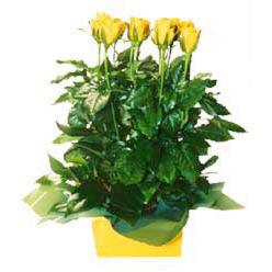 11 adet sari gül aranjmani  Afyon online çiçekçi , çiçek siparişi