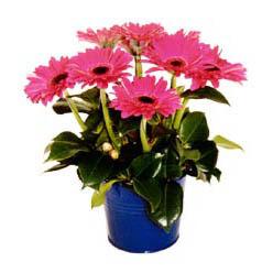 vazo içerisinde gerbera çiçekleri   Afyon online çiçek gönderme sipariş