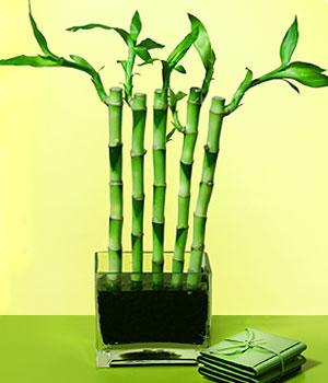 Afyon anneler günü çiçek yolla  Good Harmony Lucky Bamboo camda