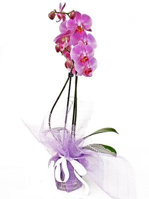 Afyon anneler günü çiçek yolla  Kaliteli ithal saksida orkide