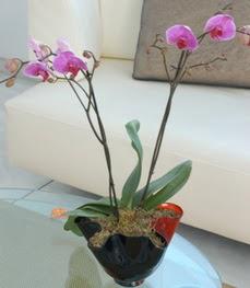 Afyon çiçekçi mağazası  tek dal ikili orkide saksi çiçegi