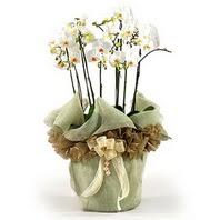 Afyon çiçek siparişi sitesi  3 dal orkide , saksi çiçegi , 3 kök orkide