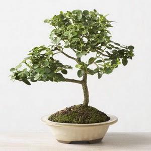ithal bonsai saksi çiçegi  Afyon çiçek online çiçek siparişi