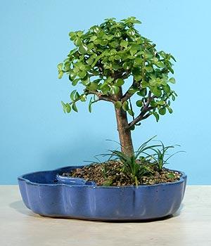 ithal bonsai saksi çiçegi  Afyon çiçekçiler