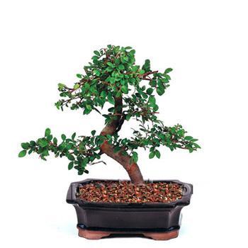 ithal bonsai saksi çiçegi  Afyon çiçek siparişi vermek
