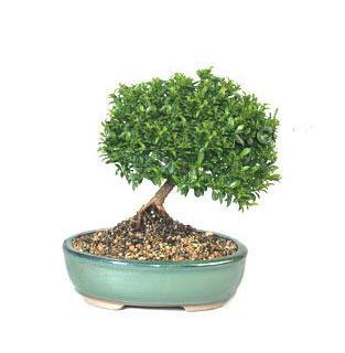 ithal bonsai saksi çiçegi  Afyon cicekciler , cicek siparisi