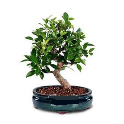 ithal bonsai saksi çiçegi  Afyon çiçek siparişi sitesi