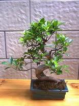 ithal bonsai saksi çiçegi  Afyon hediye sevgilime hediye çiçek
