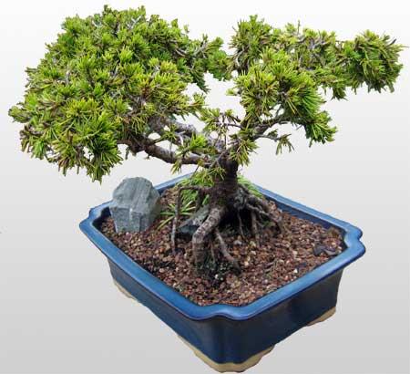 ithal bonsai saksi çiçegi  Afyon çiçekçi mağazası