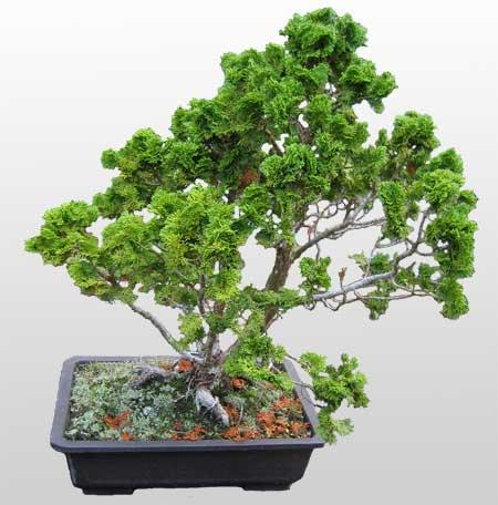 ithal bonsai saksi çiçegi  Afyon İnternetten çiçek siparişi