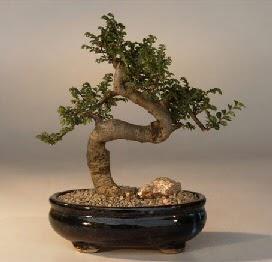 ithal bonsai saksi çiçegi  Afyon 14 şubat sevgililer günü çiçek