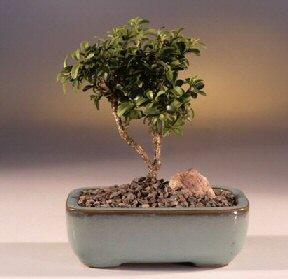 Afyon çiçek yolla  ithal bonsai saksi çiçegi  Afyon internetten çiçek satışı