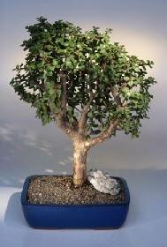 Afyon çiçek gönderme  ithal bonsai saksi çiçegi  Afyon çiçekçiler
