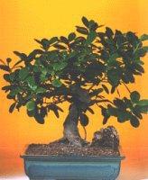 Afyon çiçekçi telefonları  ithal bonsai saksi çiçegi  Afyon internetten çiçek siparişi