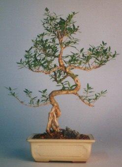 Afyon çiçek satışı  ithal bonsai saksi çiçegi  Afyon çiçek siparişi vermek