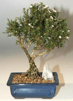 Afyon çiçek , çiçekçi , çiçekçilik  ithal bonsai saksi çiçegi  Afyon online çiçek gönderme sipariş