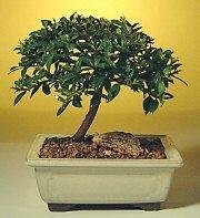 Afyon ucuz çiçek gönder  ithal bonsai saksi çiçegi  Afyon cicek , cicekci