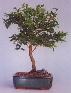 Afyon ucuz çiçek gönder  ithal bonsai saksi çiçegi  Afyon anneler günü çiçek yolla