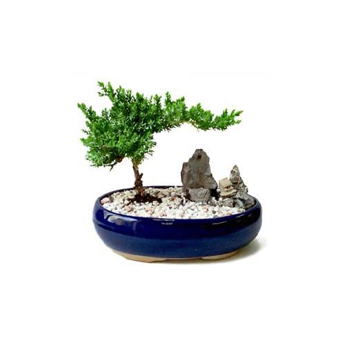 ithal bonsai saksi çiçegi  Afyon çiçek gönderme