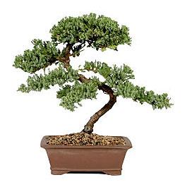 ithal bonsai saksi çiçegi  Afyon çiçek gönderme sitemiz güvenlidir