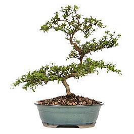 Afyon İnternetten çiçek siparişi  ithal bonsai saksi çiçegi  Afyon çiçek gönderme sitemiz güvenlidir