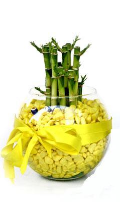 cam fanus içerisinde bambo  Afyon internetten çiçek satışı