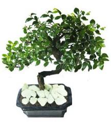 9 yasinda Bonsai agaci  Afyon yurtiçi ve yurtdışı çiçek siparişi