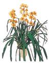 Afyon çiçekçiler  Orchiede ithal büyük boy saksi