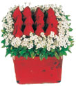 Afyon çiçek gönderme  Kare cam yada mika içinde kirmizi güller - anneler günü seçimi özel çiçek