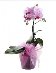 1 dal pembe orkide saksı çiçeği  Afyon kaliteli taze ve ucuz çiçekler