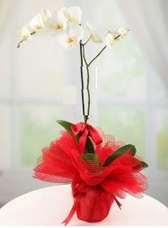 1 dal beyaz orkide saksı çiçeği  Afyon yurtiçi ve yurtdışı çiçek siparişi