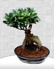 saksı çiçeği japon ağacı bonsai  Afyon kaliteli taze ve ucuz çiçekler