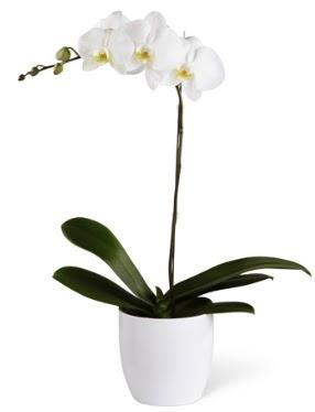 1 dallı beyaz orkide  Afyon 14 şubat sevgililer günü çiçek