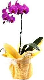 Afyon çiçek siparişi sitesi  Tek dal mor orkide saksı çiçeği