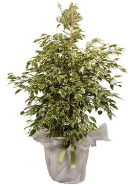 Orta boy alaca benjamin bitkisi  Afyon internetten çiçek satışı