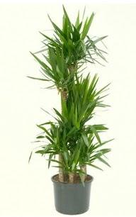 7 li yucca saksı bitkisi  Afyon çiçek servisi , çiçekçi adresleri