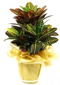 Orta boy kraton saksı çiçeği  Afyon 14 şubat sevgililer günü çiçek