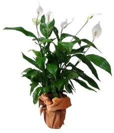 Orta boy barış çiçeği limon çiçeği  Afyon internetten çiçek siparişi