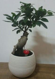 Bonsai japon ağacı saksı çiçeği  Afyon çiçek gönderme sitemiz güvenlidir