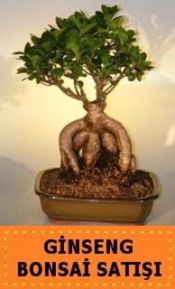 Ginseng bonsai satışı japon ağacı  Afyon cicek , cicekci