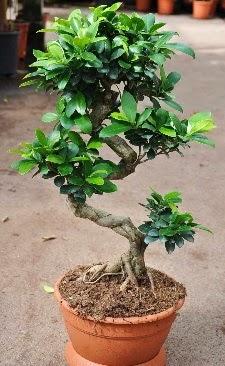 Orta boy bonsai saksı bitkisi  Afyon internetten çiçek siparişi