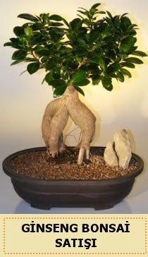 İthal Ginseng bonsai satışı japon ağacı  Afyon çiçek siparişi sitesi